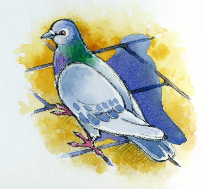 Line and wash illustration of a pigeon with shadow