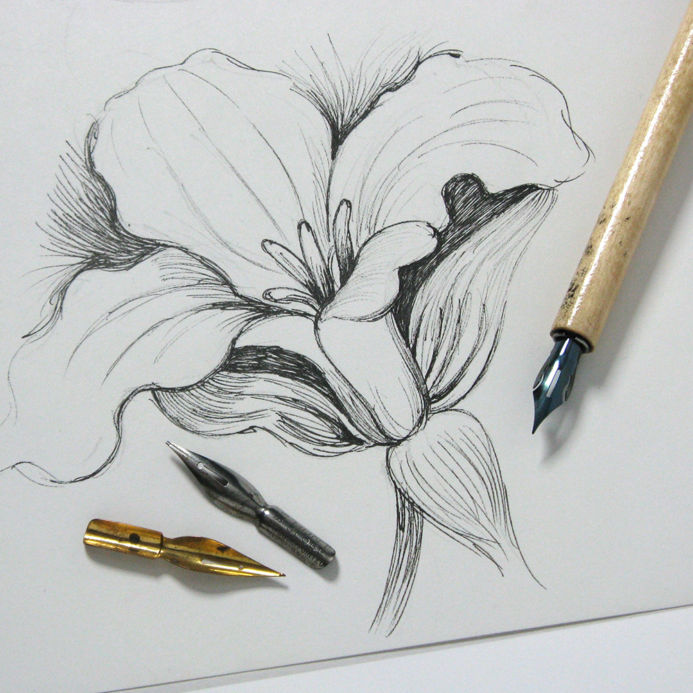 Drawing of a lily done with pen and ink, showing nibs and holder